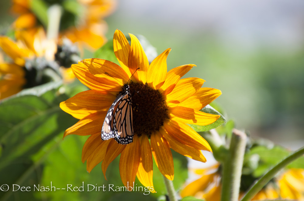 Sunflower with Monarch butterfly.