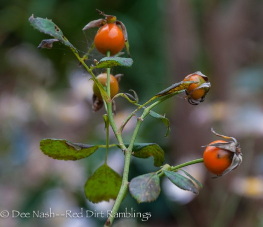 Rosehips on Rosa 'Baseye's Blueberry' are a lovely bright orange.