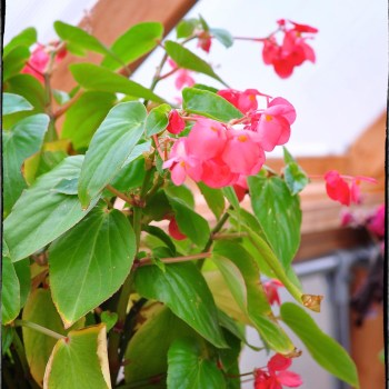Begonia blooming in the greenhouse. Garden Bloggers' Bloom Day: December