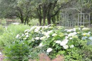 H. arborescens 'Annabelle' with willow aster growing further behind.