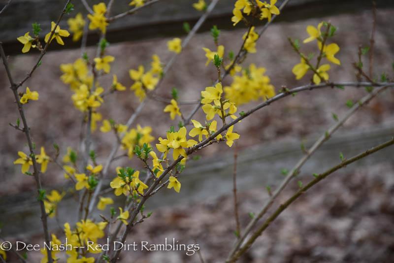 Forsythia x intermedia 'Linwood Gold'