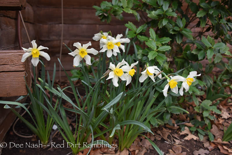Narcissus 'Mrs. Langtry'