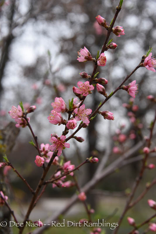 Peach blossoms are exquisite, and pollinators love them too. Garden season begins