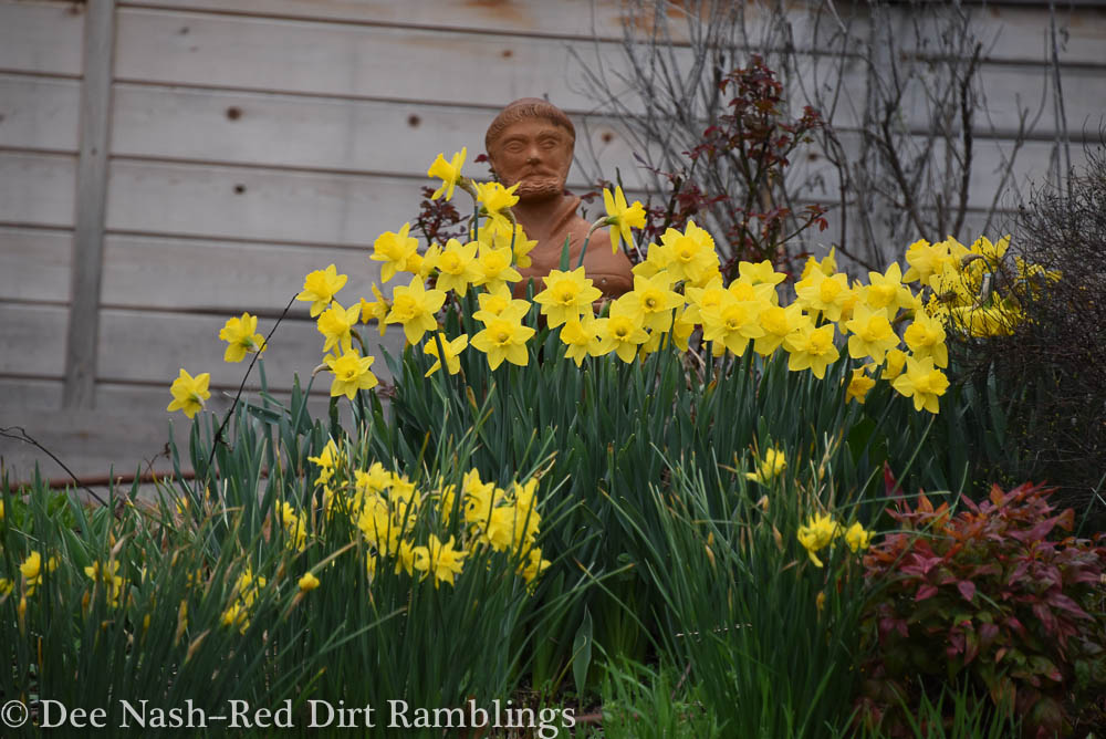 Yellow narcissus with St. Francis in the garden bed that faces the street. Dee Nash--Red Dirt Ramblings