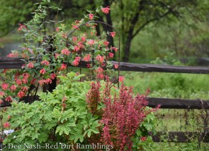 Hydrangea quercifolia 'Ruby Slippers,' Berberis thunbergii 'Orange Rocket,' (not native) and Lonicera sempervirens, American honeysuckle, the 2014 Wildflower of the Year.