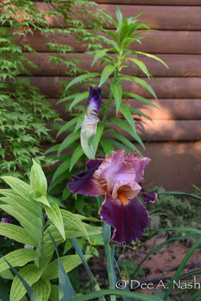 One iris I do know if 'Backdraft.' I love this very special iris coloration, and it's finally happily blooming here.