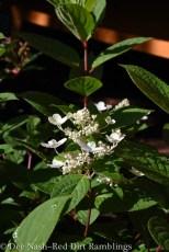 Hydrangea paniculata Quick Fire