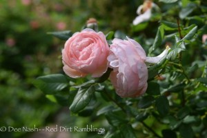 Rosa 'Heritage' one of the first David Austin roses offered in the U.S. way back when.