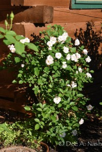 Rosa 'Marie Pavie' given to me for Megan's First Communion fourteen years ago.