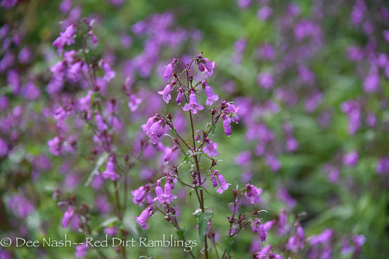 Penstemon smallii 'Violet Dusk'