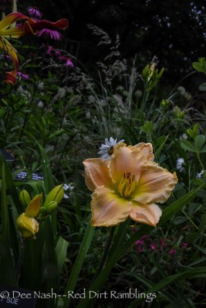 Hemerocallis 'Dinett Sue' has the largest bloom.