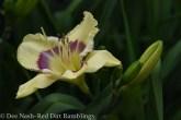 Hemerocallis 'Jamaican Love'