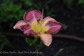Hemerocallis 'Mystical Intuition' (Petit 2011)