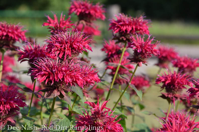 Not sure about the name of this monarda, bee balm. Anyone have an idea?