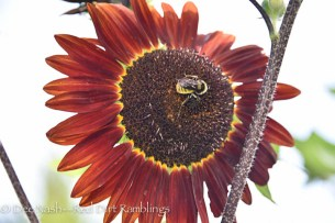 A dark mahogany sunflower grown from seed.