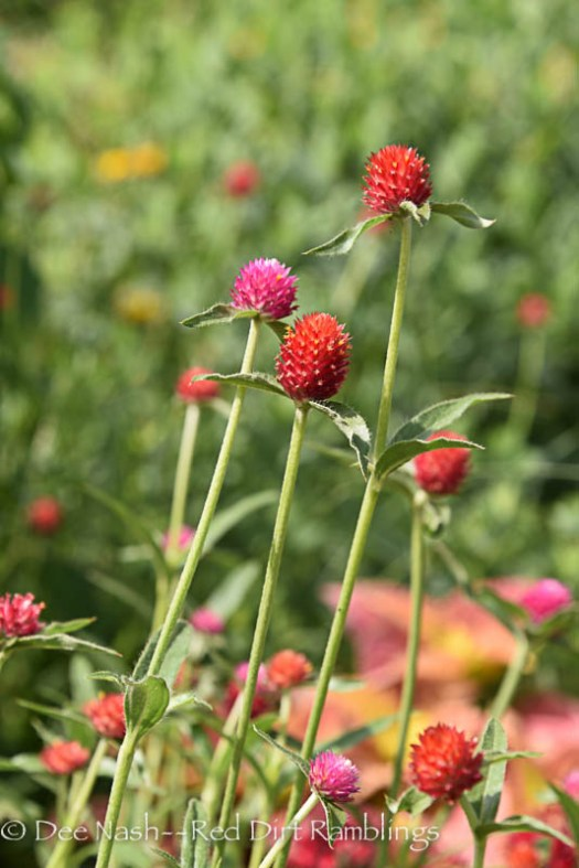Gomphrena that came back from seed. It is a shorter variety.