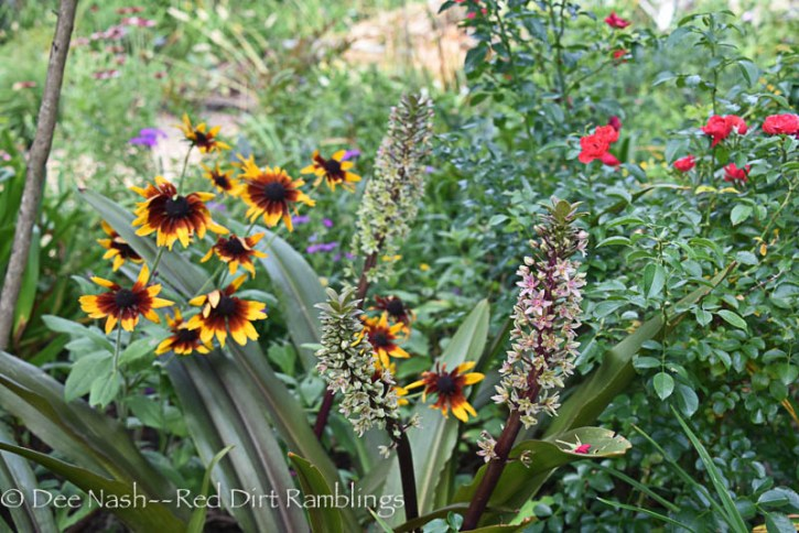 Eucomis 'Oakhurst' pineapple lily with Rudbeckia hirta Cherokee Sunset.
