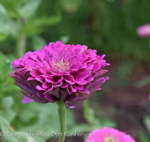 Closeup of a purple/pink zinnia.