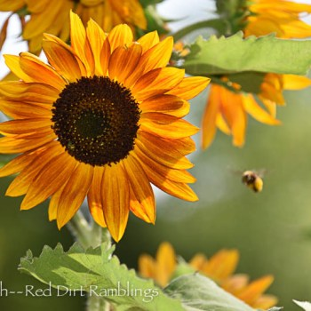 Sunflower with bumblebee; Summer flowers for summer heat