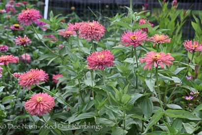 What else can I say about these crazy wild zinnias? 'Burpee Rose Giant Cactus' zinnias are a gorgeous color, and have a wonderful and wild shape.
