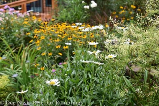 'Becky' shasta daisy with Rudbeckia fulgida 'Goldsturm'