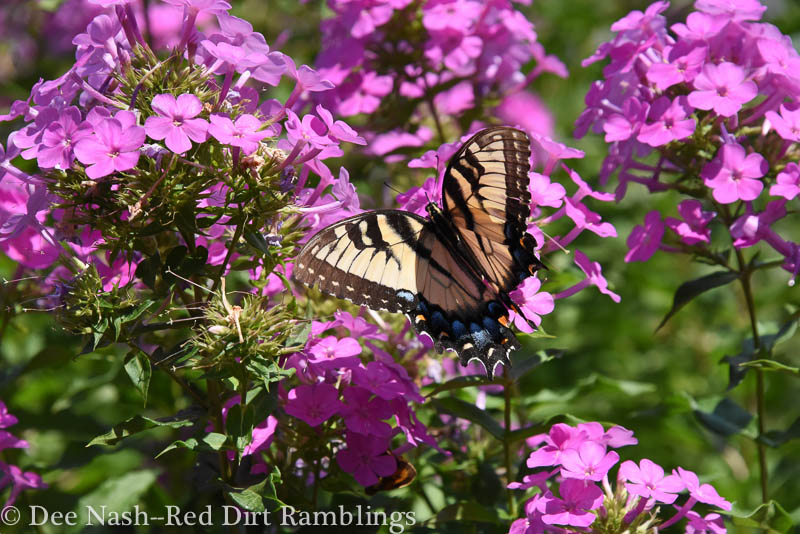 Eastern Tiger Swallowtail butterfly (Papilio glaucus) on passalong Phlox paniculata.