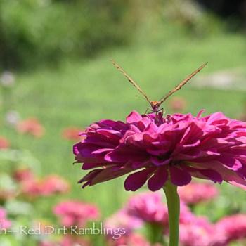 Fritillary butterfly facing me on a Zinnia elegans.