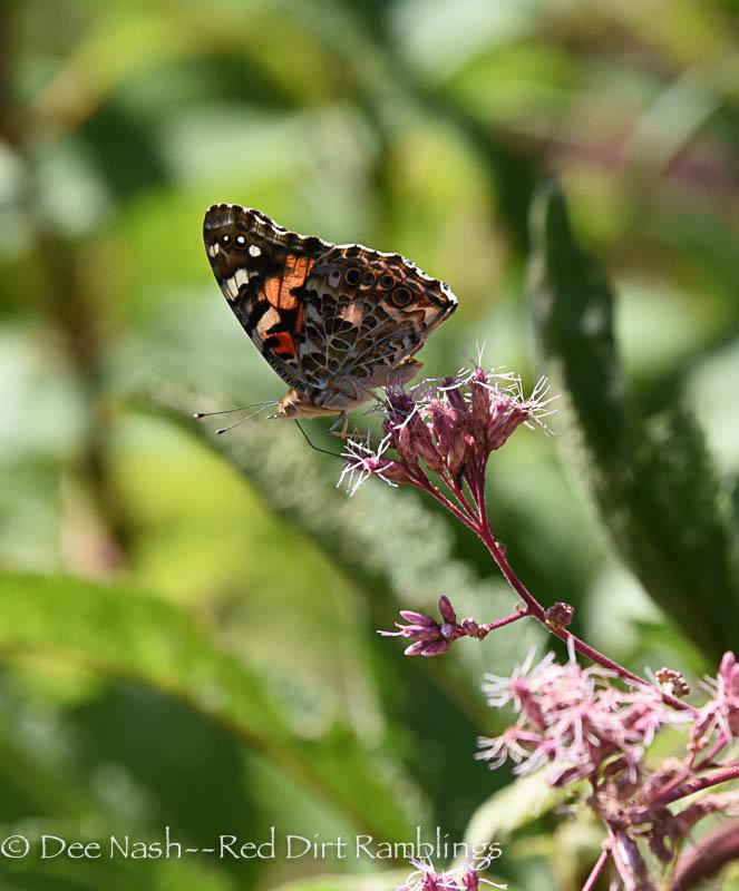 Painted lady butterfly on Joe Pye Weed 'Little Joe.'
