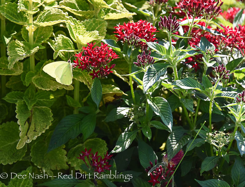 Can you see the Sulphur butterfly on the red pentas. It's trying very hard to blend into the green and gold coleus, 'Electric Lime.'