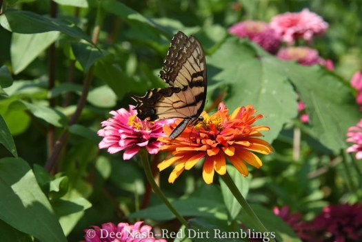 Eastern Tiger Swallowtail butterfly on Zowie! Yellow Flame zinnia.