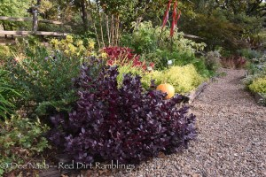 Alternanthera 'Purple Knight' in context with red coleus behind it. The chartreuse plant is another alternanthera.