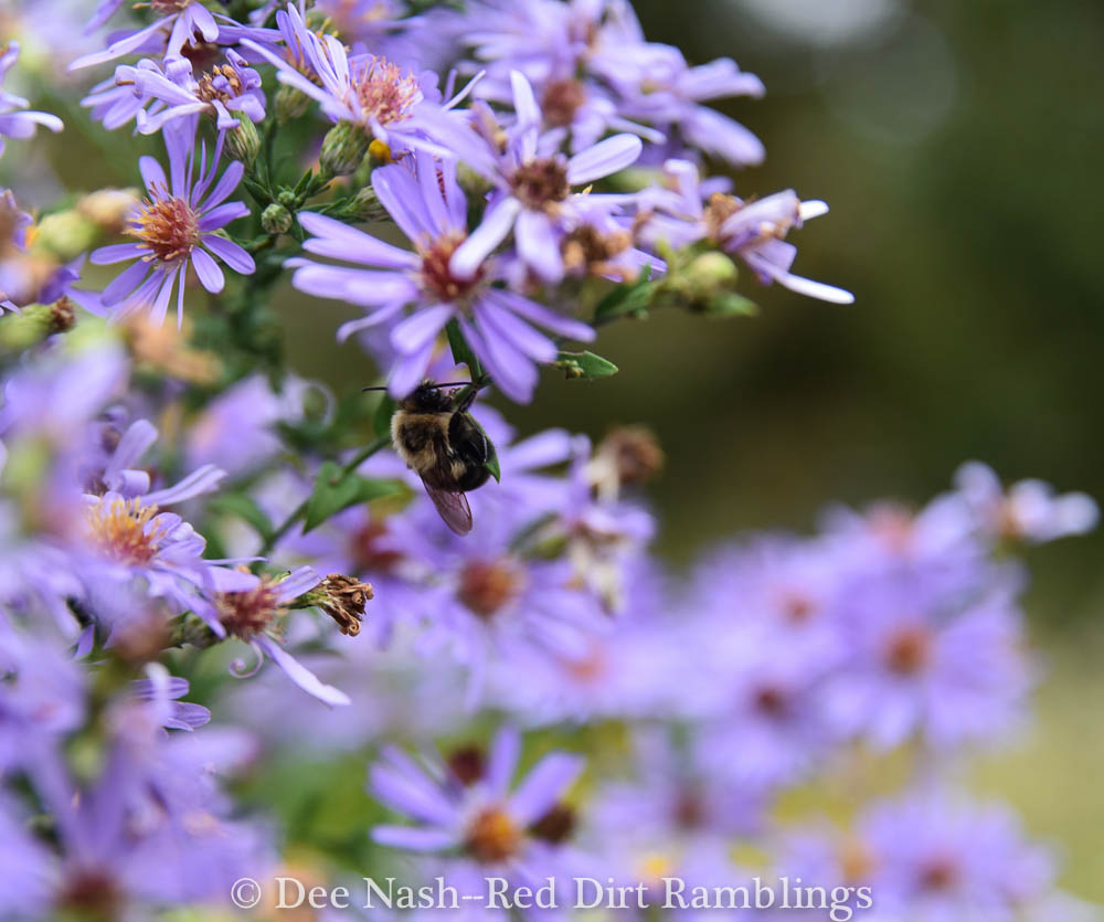 Symphyotrichum laeve 'Bluebird' with a small bee.