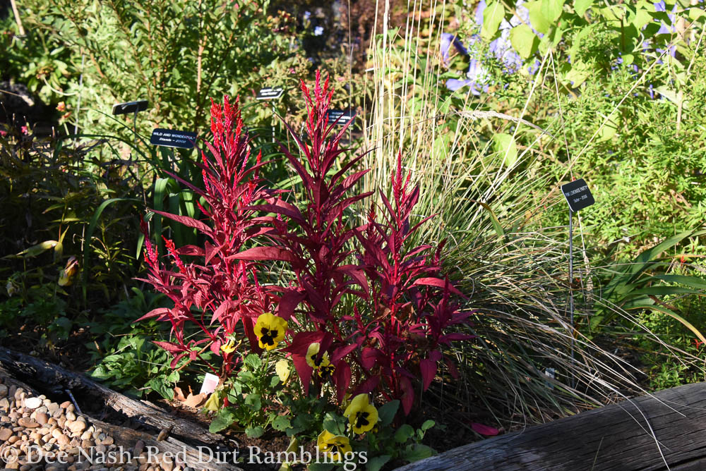 Celosia argentea plumosa 'Dragon's Breath' was a trial plant from Sakata Seeds this year. Although it takes a long season to bloom, the foliage color is the most amazing red.