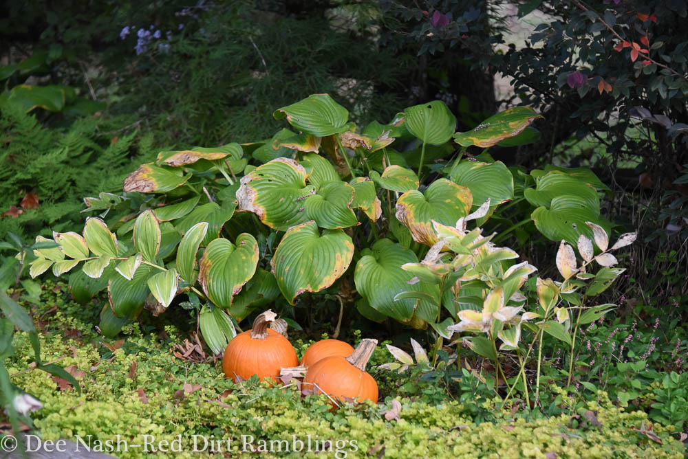 Pumpkins, hostas, variegated Solomon's seal and lime green creeping Jenny.
