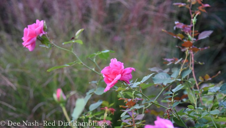 Rosa 'Carefree Beauty' blooming in fall.