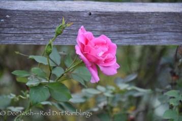 Rosa Carefree Beauty against a split rail fence.
