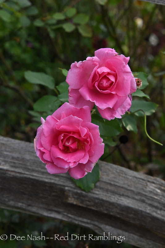 Rosa 'Carefree Beauty' rose against the split rail fence that surrounds the back garden. Photo by Dee Nash