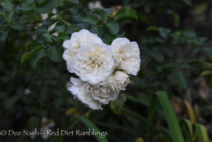 Rosa White Meidiland® is a steady performer in the tiered border. I wish the flowers didn't turn brown and hang on though as they die.