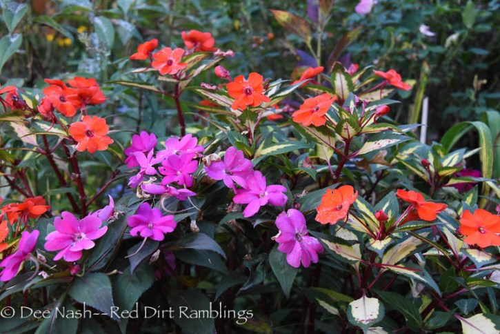 More trial plants hanging in there. Sunpatiens Spreading Tropical Orange (variegated foliage,) Compact Lilac and Compact Magenta. I like all of them. I like Sunpatiens period. Great summer plants.