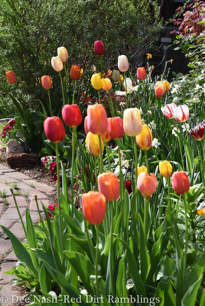 The Scheepers hybrid tulip mix is designed so that tulips bloom in unison.