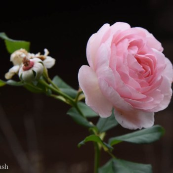 Rosa 'Heritage,' one of the original English roses offered in the U.S.