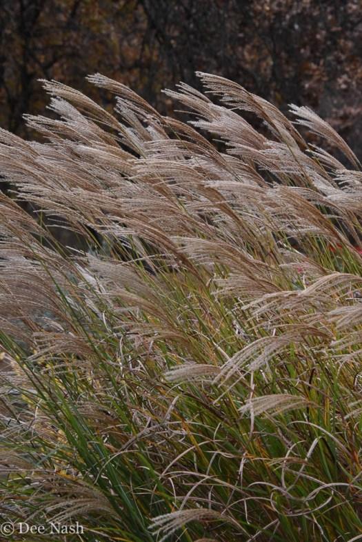 Maiden grass blown by the wind.