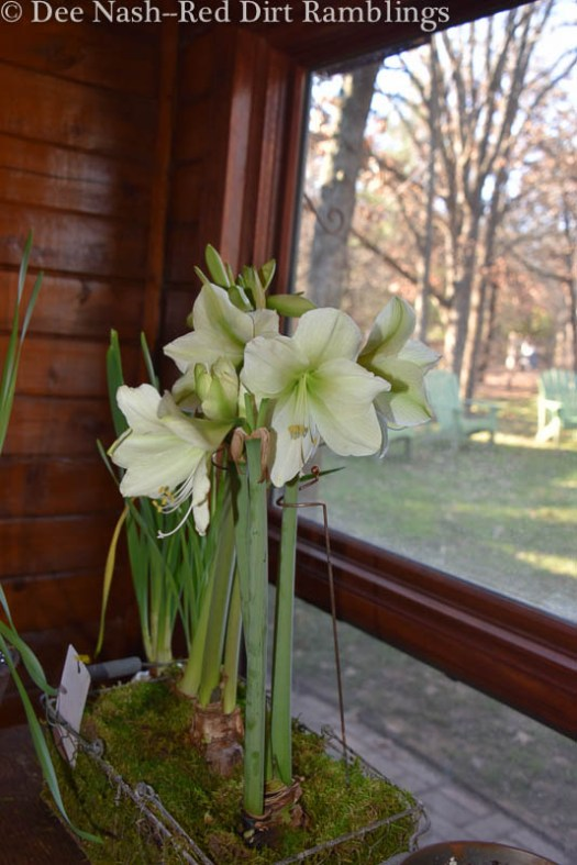 Hippeastrum 'Luna' amaryllis in full view. We also have paperwhites and other flowers for Christmas.