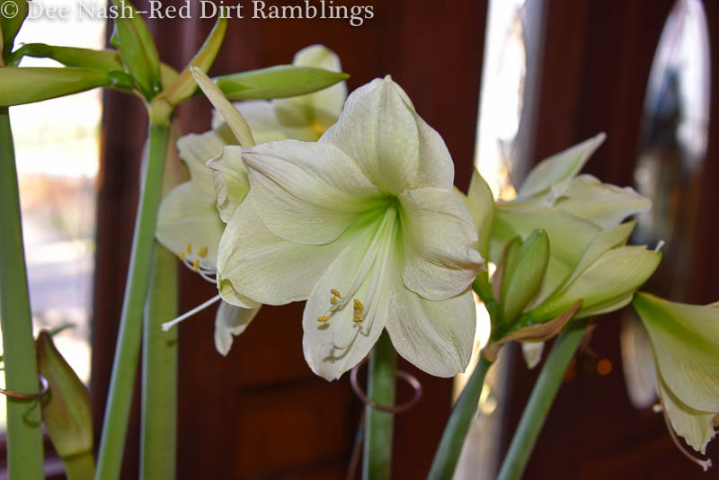 Hippeastrum 'Luna' amaryllis. I planted three bulbs in a chicken wire container and filled it with moss.