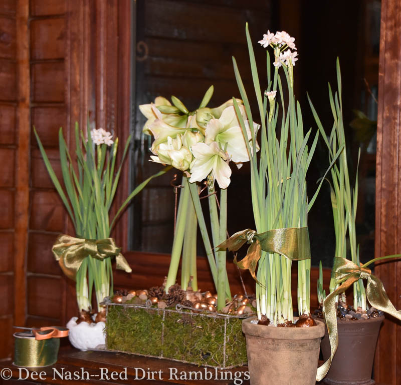 How To Grow Amaryllis And Paperwhites Indoors