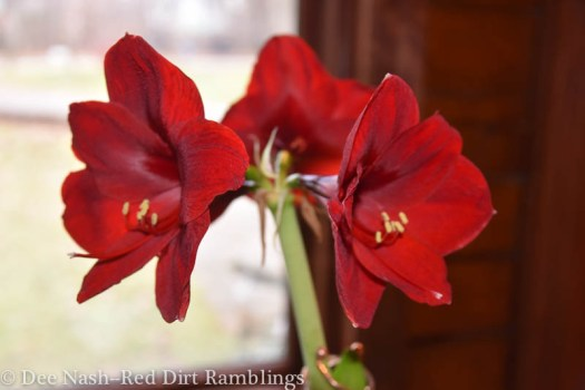 Blooming plants beat the winter blues. Hippeastrum 'Red Pearl' amaryllis is the most scrumptious shade of red.