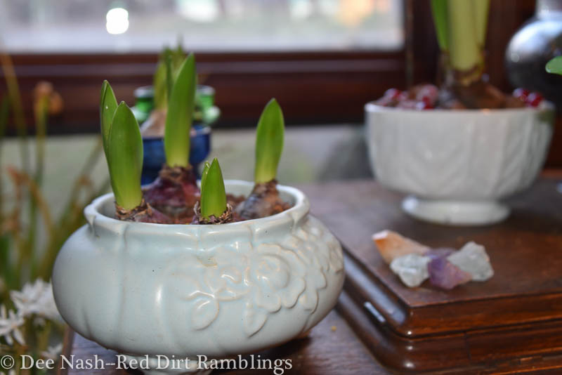 Hyacinths in a vintage blue forcing bowl. This is one of my favorites. I'm impatient for the hyacinths to bloom.