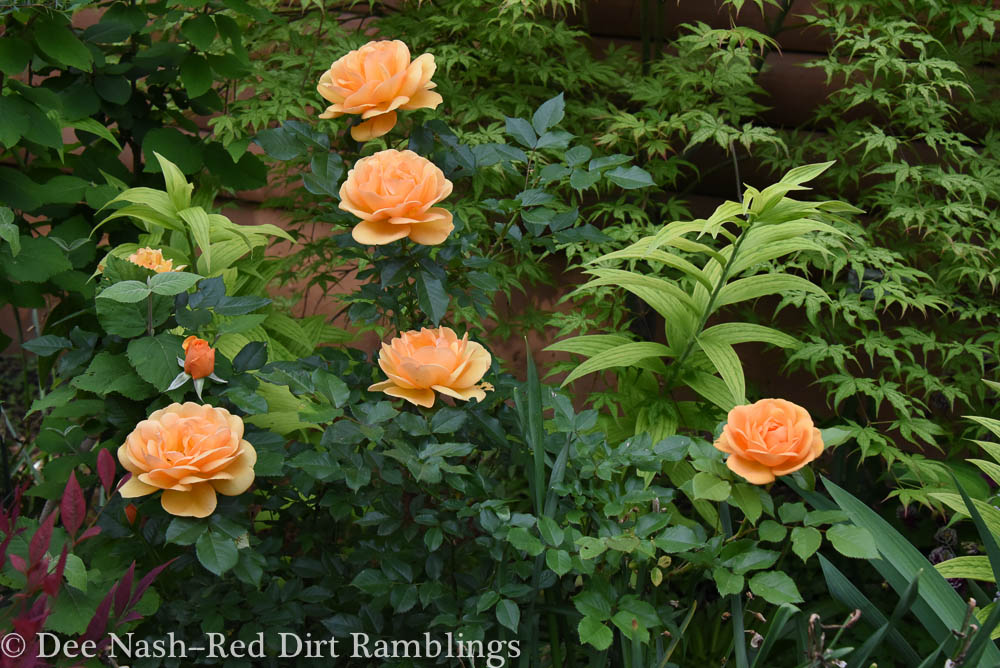 Rosa 'South Africa' is one of the best new plants I've bought in recent years.