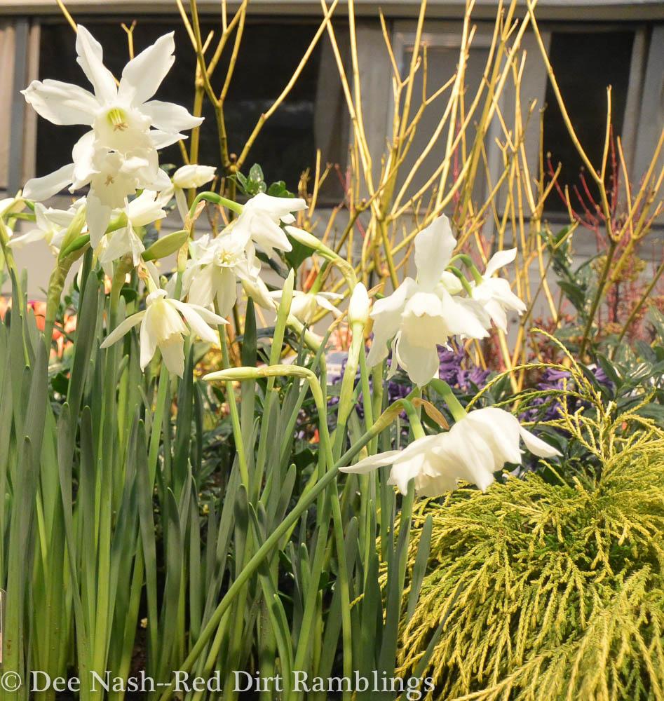 Narcissus 'Thalia'--Dee Nash