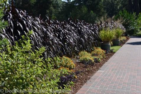 Dark grass at OSU Botanical Gardens. Might be 'Princess Caroline' or Vertigo.